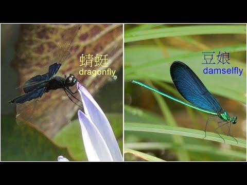 蜻蜓和豆娘~ - YouTube