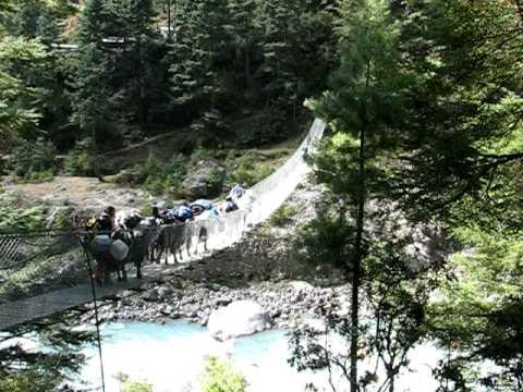 Cattle crossing bridge Khumbu Valley