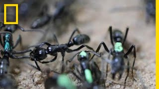 Self-Sacrificing Ants Refuse Treatment of Their Wounds | National Geographic width=