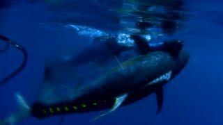 Spearfishing Yellowfin Tuna - Sicklefin Dreaming HD
