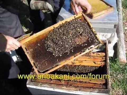 İlkbahar koloni kontrolü ve arıcılık videosu