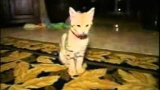 SEE ONE OF THE MOST EXPENSIVE PET CATS IN THE WORLD www keepvid com