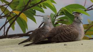 2 lovely Zebra Doves frightened by a loud sound