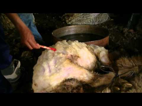 Berber Sheep Shearing Day Mid-atlas of Morocco