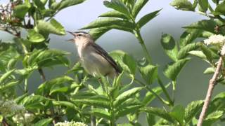 Sedge Warbler  - Nosterfield June 27th 2015
