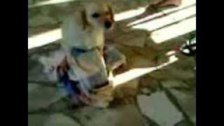 Cachorro Sabugo Cachoeira de Minas