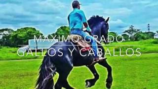 MAXIMO GRADO- GALLOS Y CABALLOS