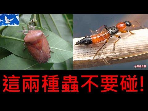 夏季蟲蟲危機! 荔枝椿象 x 隱翅蟲 | 三分鐘聊醫學EP5 - YouTube