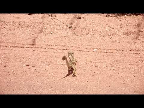 Dancing Cameleon at the Kruger park