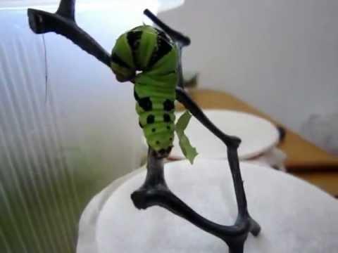 無尾鳳蝶前蛹期結絲帶過程 - YouTube