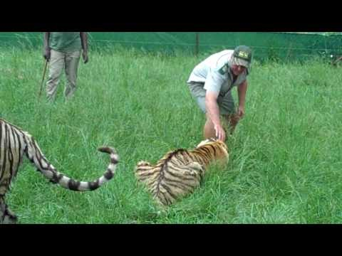 Fun With Tigers Part 3