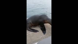 Crazy seal pup