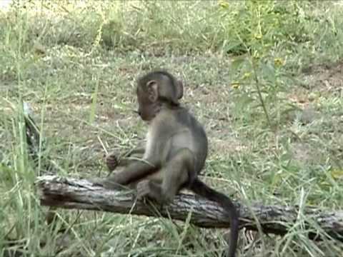 BB Babouin au Parc Kruger en Afrique du Sud