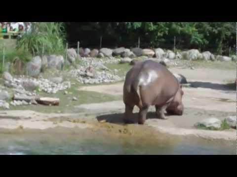 Bardzo energiczny Hipopotam