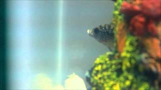 Jack Dempsey eats live Minnow  (cichlid eats rosy red minnow)