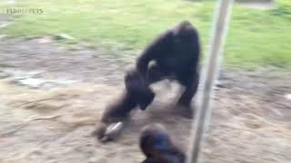 Baby Gorilla - Down With The Sickness