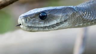 Crocodile Attacks Black Mamba 01 - Crocodile Attacks Snake width=