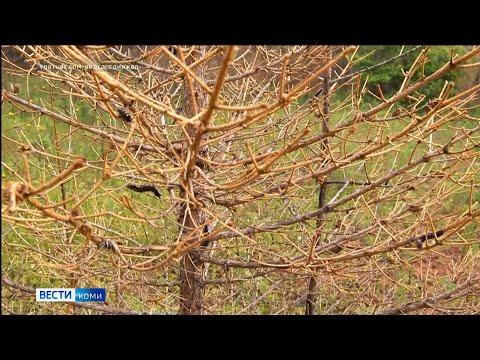 Южным районам Коми угрожает вредитель - сибирский непарный шелкопряд