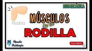 MÚSCULOS DE LA RODILLA