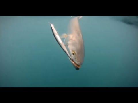 Come pescare a spinning il pesce serra sport power - Come cucinare il pesce serra ...