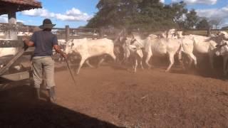 vaca brava investindo no vaqueiro