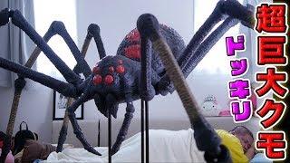 【ドッキリ】 寝起きでバカみたいにデカい蜘蛛がいたらどんな反応!?