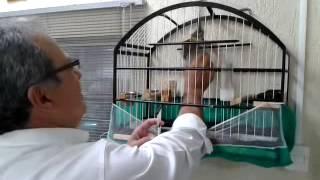 Trinca Ferro Pixarro Champignon - Canto Grego Mole com Boi - Virada Caratinga com Boi