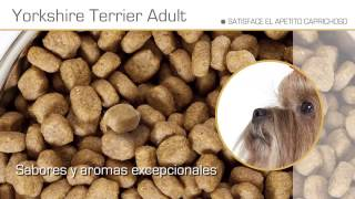 El Yorkshire Terrier – Razas caninas Royal Canin