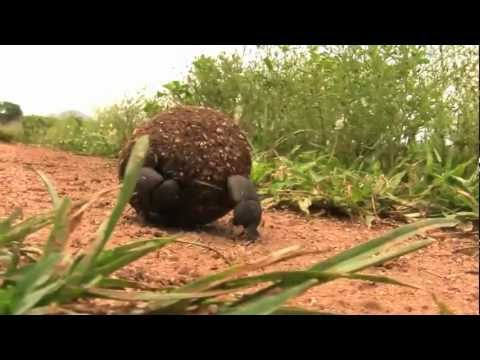 Dung Beetle, Safari Guide, South Africa – GoHop ie – Unravel Travel TV