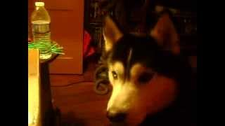 Siberian Husky Reacts To Desert Rain Frog Video