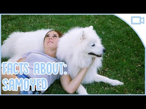 Facts About Samoyeds!