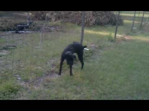 Pies sika na ogrodzenie pod napięciem