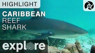 Caribbean Reef Shark - Cayman Reef Live Cam Highlight