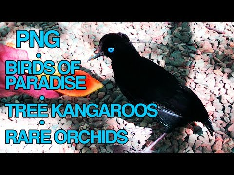 4K Close Up With Birds of Paradise, Tree Kangaroos and a RARE Orchid Garden!