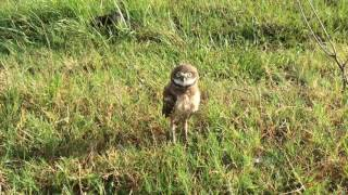 Burrowing Owl - Rattle Snake Call