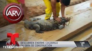 Encuentran cocodrilo enorme en obra en Perú   Al Rojo Vivo   Telemundo