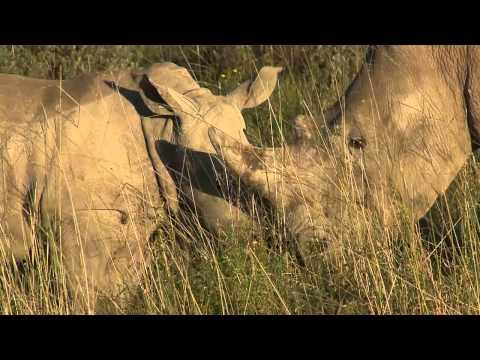 White Rhino Calf Kissing Mum