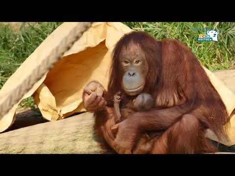 Zoo Rostock | Orang-Utan-Nachwuchs LinTang