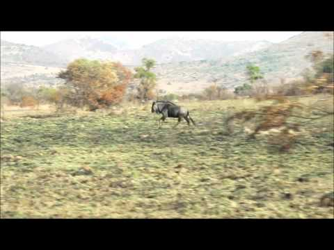 A Wildebeest in Pilanesberg Game Reserve, South Africa 2010
