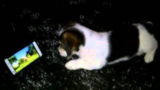 Beagle (Zyzz) assistindo ovelha choné