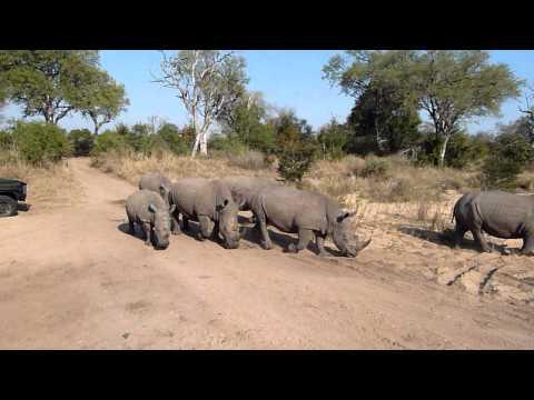 Rhinos on Parade Part II – Mala Mala, South Africa