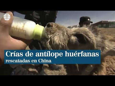 Un grupo de guardabosques rescata a crías de antílope huérfanas