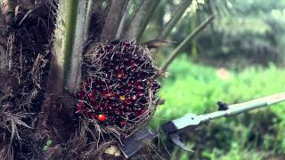 Palm Oil Palm Trees Smart Harvesting, Prunning Mechanized Chisel
