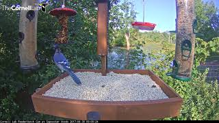 Loud Blue Jay Knocks Seed Cylinder In Half – August 30, 2017