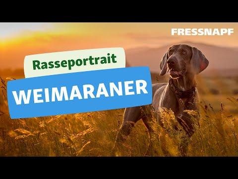 Rasseportrait: Weimaraner