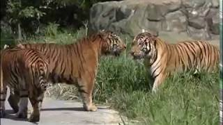 Animal Face-Off - Siberian Amur Tiger vs Bengal Tiger