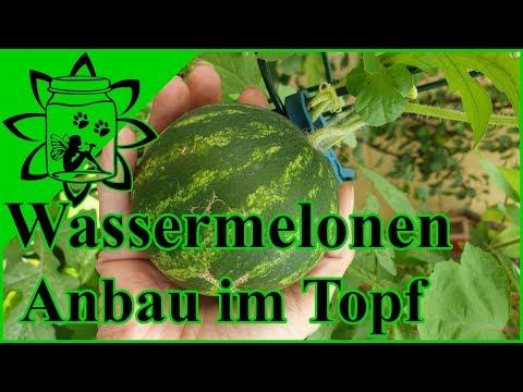 Wassermelonen Anbau im Topf   Mini Wassermelonen für den Balkon   Garteneinkochfee