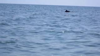 Delfini august 2017 Vadu