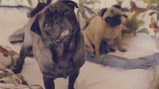 A HAPPY VIDEO!! WITH PUGS!!