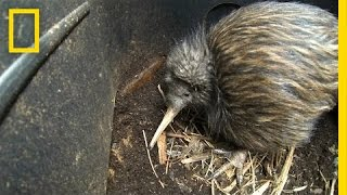 Bizarre, Furry Kiwi Bird Gets a Closer Look | National Geographic